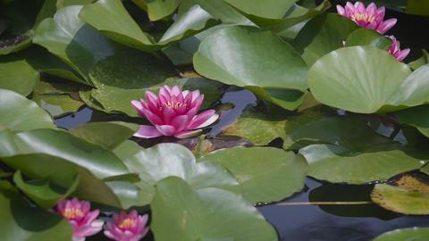 Water Lily Flowers,at Showa Memorial Park,Tokyo,Japan,Filmed in 4K Footage