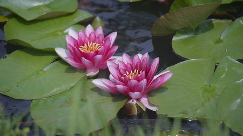 Water Lily Flowers,at Showa Memorial Park,Tokyo,Japan,Filmed in 4K Footage
