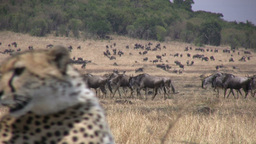 Wildebeests passing close to a cheetahs Footage
