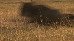 Wildebeests running fast infront of the camera Footage