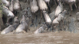 Wildebeests stranded at the exit point during crossing of mara river Footage