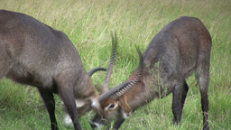 Wterbuck males in a territorial challenge Footage