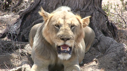 Young male lion panting in a hot day Footage