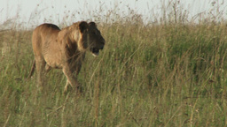 Young male lion walking in the plains Footage