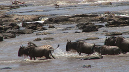 Zebras and wildebeests walk past a crocodile in the river Footage
