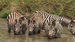 Zebras drinking in a pool Footage