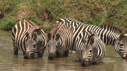 Zebras drinking in a pool Footage