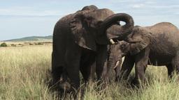 Zoom in of a family of elephants in a waterhole Footage