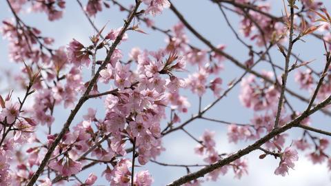 Sakura cherry blossom tree in springtime Footage