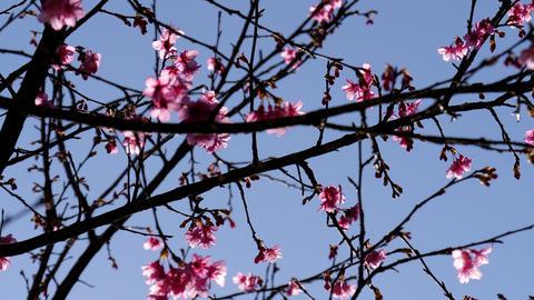 Sakura cherry blossom flower on branch with blue sky Footage