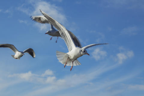 River gulls flying in the blue sky with white clouds Photo