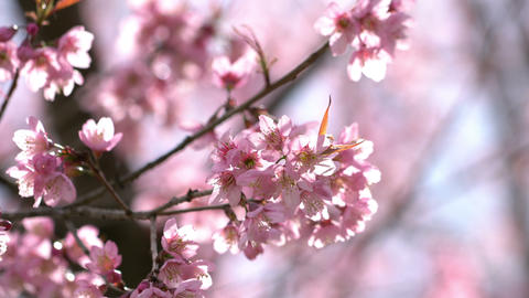 Close up sakura cherry blossom in the wind Footage