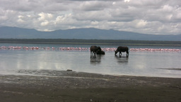 Zoom in of buffalos in a lake with flamingos Archivo
