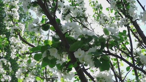 Bee flying between apple flowers Footage