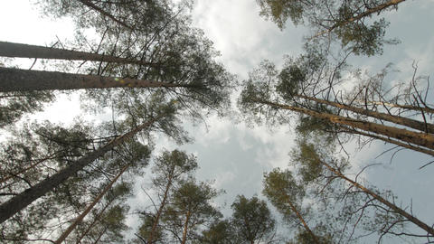 Coniferous forest and the blue sky. View from bottom to top. Smooth rotation and Live Action