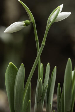 Snowdrop flowers - Galanthus nivalis close up with selective focus フォト