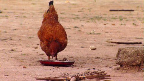 Chicken Eating in Africa Footage