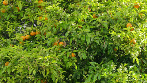The tree on which grow oranges Footage