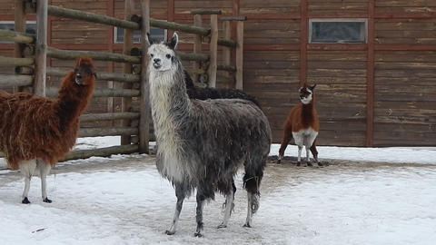 Llamas in the aviary on the farm Live Action