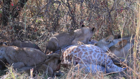 Lion cubs attempt to eat a giraffe killed by their mother Live Action