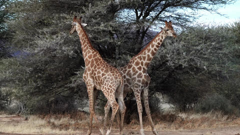 Two young male giraffes are seen fighting for the affections of a female in Footage