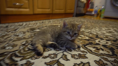 The striped kitten looks Stock Video Footage