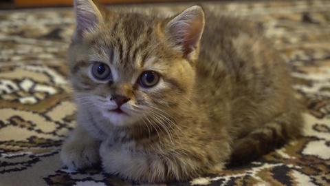 The striped kitten looks Footage