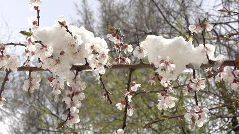 Flowering Spring Tree In The Snow GIF