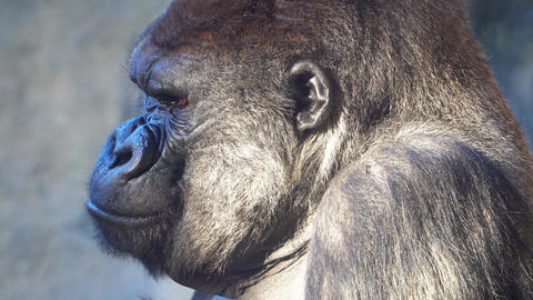 Severe Silverback Gorilla Eating on the green grass Footage