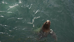 Northern Sea Lion or Steller Sea Lion (Eumetopias Jubatus) swims in sea Footage