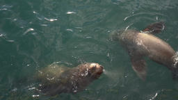 Northern Sea Lion or Steller Sea Lion swims in Pacific Ocean Footage