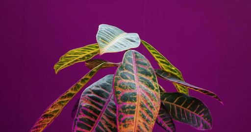 codiaeum plant growing, plant growth time lapse, raise up leaves, germination Live Action