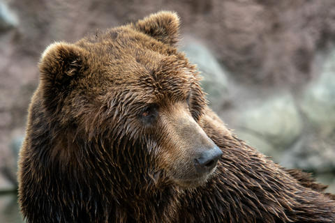 Front view of brown bear. Portrait of Kamchatka bear フォト