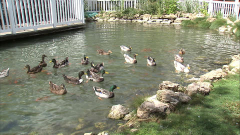 Ducks in a pond competing for food Footage