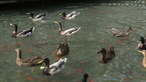 Close up of ducks competing for food in a pond Footage