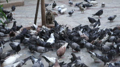 pigeons birds and cat Footage