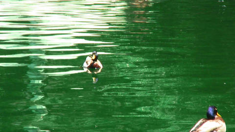 Ducks floating in a green pond with toy boats Footage