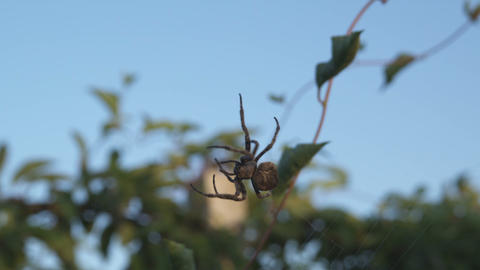 Spider crawling on its web Footage