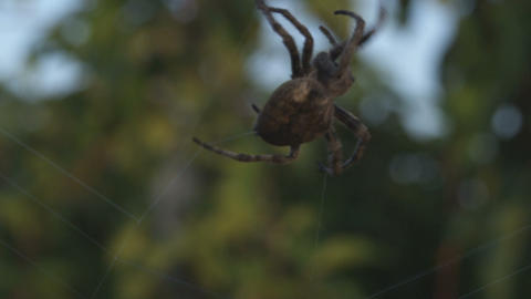 Close up of spider moving on its invisible web Footage