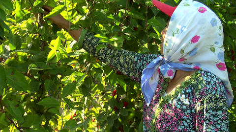Woman picking berries in China Footage