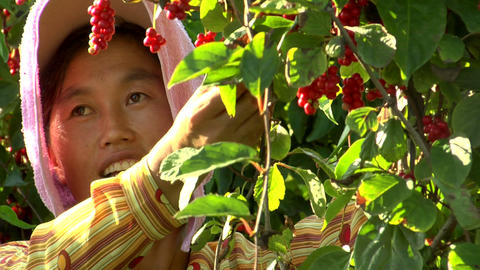 Close-up of a woman picking berries in China Footage
