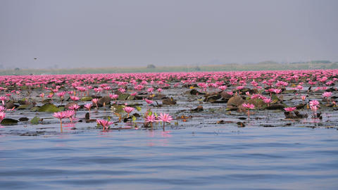Boat view blooming nature pink water lily in the big pond Footage