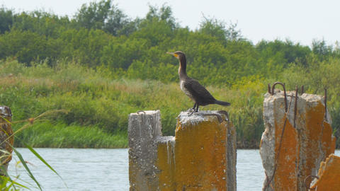 Cormorant sitting on concrete block against the bushes and spreads its wings Footage