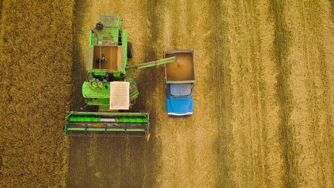 Top view combine harvester pours out wheat into the truck at sunset. Harvesting Live Action