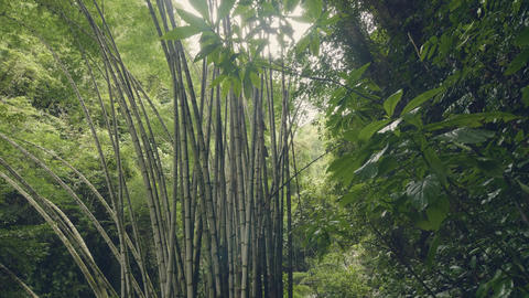 Bamboo trees in rainforest on background green tropical plants. Wild bamboo Footage