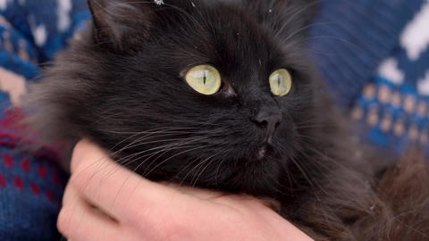 Black cat is held on its hands outdoors in the winter, with snowflakes on its Footage