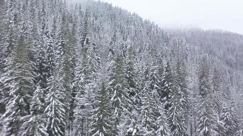 Flight over snowstorm in a snowy mountain coniferous forest, foggy unfriendly Footage