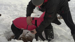 Man puts warm vest for sled dogs before sled dog race Footage