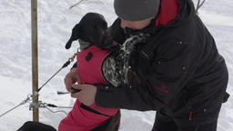 Man puts vest for sled dogs before dog sled racing Footage