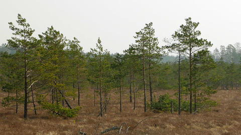 Small swamp pine trees. Sunny day in bog marsh land Stock Video Footage